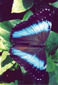 butterfly_13535c